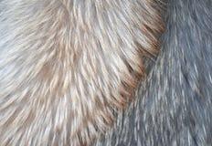 Fourrure de renard polaire Photographie stock libre de droits
