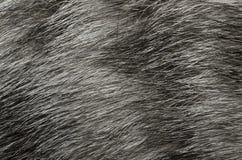 Fourrure grise avec des filets d'un chat domestique photos stock