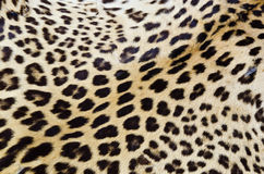 Fourrure réelle de tigre Images libres de droits
