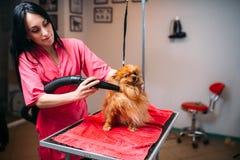 Fourrure sèche de chien de groomer féminin d'animal familier avec un sèche-cheveux Image stock