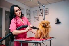 Fourrure sèche de chien de groomer féminin d'animal familier avec un sèche-cheveux Photo stock