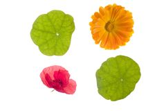 Foursome. Poppy, nasturtium leaves, and daisy Stock Photo