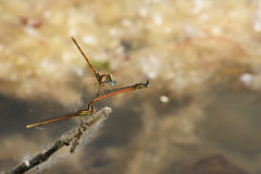 A foursome of damsel flies Stock Image