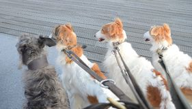 Four attentive dogs. Foursome of dogs pay attention to something outside the picture frame Royalty Free Stock Image