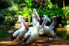 Foursome Pelicans Royalty Free Stock Photo