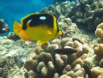 Fourspot Butterflyfish Stockfoto
