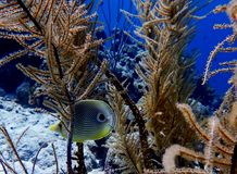 Fourspot butterflyfish Chaetodon quadrimaculatus Bonaire stock photography