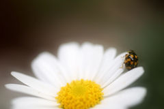 Fourteen spotted ladybird Royalty Free Stock Images