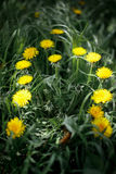Fourteen yellow dandelion Stock Images