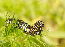 Fourth instar Black swallowtail butterfly caterpillar. Eating Dog Fennel in spring royalty free stock photo