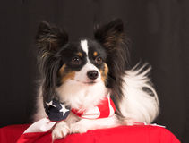 Fourth of july dog. Papillion dog with american flag bandanna, portrait stock photography