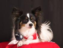 Fourth of july dog. Papillion dog with american flag bandanna, portrait Stock Photography