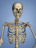 Fourth Rib, Rib Cage, 3D Model. Fourth Rib, Rib Cage, Human Skeleton, Blue Background, 3D Model Stock Photos
