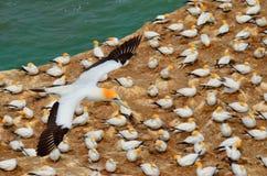 Fous de Bassan Australasian, plage de Muriwai, île du nord, Nouvelle-Zélande Photographie stock libre de droits