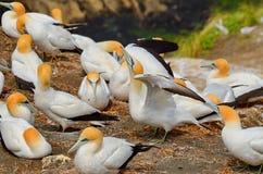Fous de Bassan Australasian, plage de Muriwai, île du nord, Nouvelle-Zélande Images libres de droits