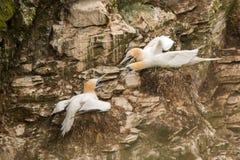 Fous de Bassan défendant le site de nid Image libre de droits