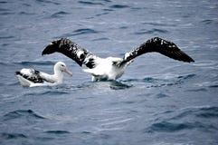 Fous de Bassan dans l'eau au Nouvelle-Zélande Photos libres de droits