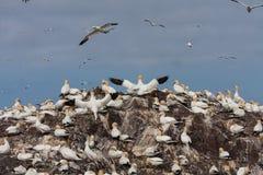 Fous de Bassan sur Bass Rock Image stock