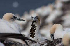 Fous de Bassan sur Bass Rock Image libre de droits