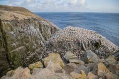 Fous de Bassan sur Cliffside par la mer Photos stock