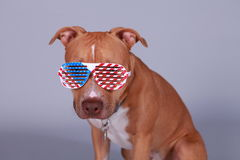 Fouth of July Pit Bull. Save America's dog! A Pit Bull dog wearing fouth of July glasses Royalty Free Stock Photos
