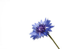 Fower cornflower Royalty Free Stock Image