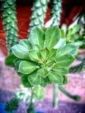 Fower de cactus de queue de rat Photo libre de droits