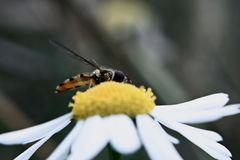 Fower Fly on Chamomile stock photography