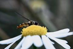 Fower komarnica na Chamomile fotografia stock