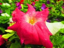 Fower rosado hermoso del jardín Imágenes de archivo libres de regalías