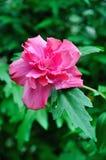 Fower vermelho com folhas verdes Fotografia de Stock Royalty Free