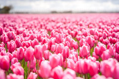 Fowering tulip bulbs in field Royalty Free Stock Photos
