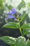 Fowers azules de catmints salvajes Fotografía de archivo