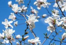 Fowers der weißen Magnolie gegen den blauen Himmel Stockfoto