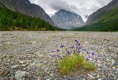 Fowers di altaica della campanula in valle di Aktru Repubblica di Altai La Russia Fotografia Stock Libera da Diritti