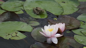 Water lily, flowers , Stock Photo
