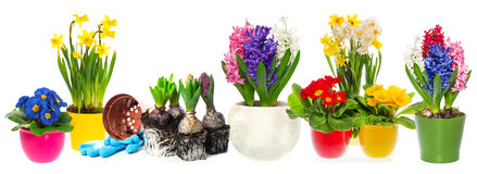 Fowers hyacinth, narcissus primroses. Spring gardening. Fowers hyacinth, narcissus and primroses in pot isolated on white background. Spring gardening concept Royalty Free Stock Image