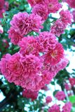 Fowers Of Roses Royalty Free Stock Photo