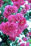 Fowers van rozen Royalty-vrije Stock Foto