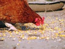 Fowl Stock Image