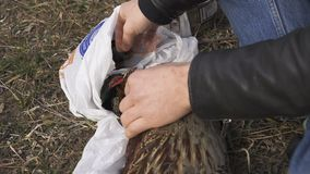 Fowl preparing, Hunting theme. Hands of man pull out a feathers of colorful Pheasant Fowl. Plucking a whole Pheasant