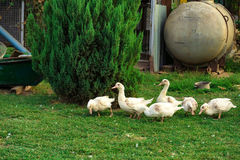Fowl-run with white domestic ducks on a farm Stock Image