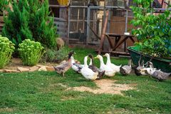Fowl-run with white domestic ducks on a farm Stock Images