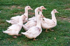 Fowl-run with white domestic ducks on a farm Royalty Free Stock Image