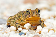 Fowler S Toad Stock Photography