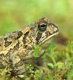 Fowler's Toad Royalty Free Stock Image