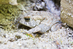 Fowler's Toad Stock Photos