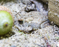 Fowler's Toad Royalty Free Stock Photography