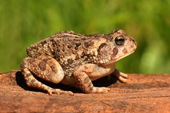 Fowlers toad (Anaxyrus Bufo fowleri) Stock Photos