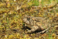 Fowlers Toad Stock Image